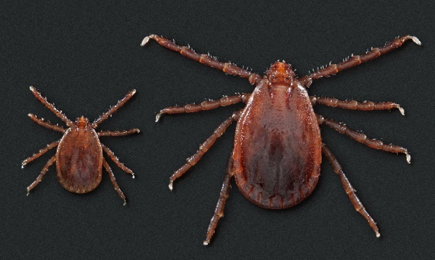 Top view of an Asian Longhorned Tick